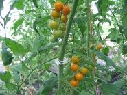 Tomates cerise Orange