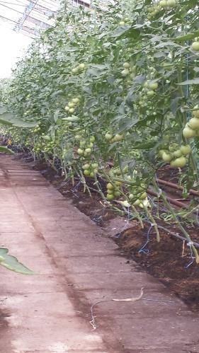 Rang de Tomates